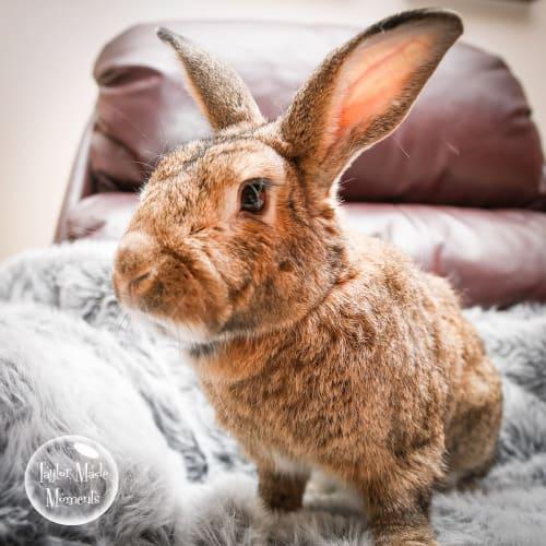 Benjamin - Domestic Rabbit