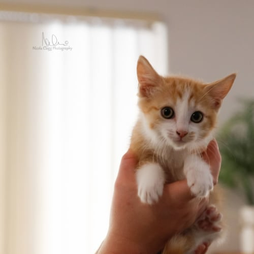Mayo - Domestic Short Hair Cat