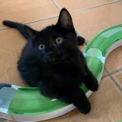 Ollie - Domestic Short Hair Cat