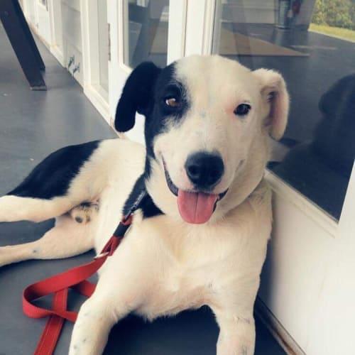 Dallas - Border Collie Dog