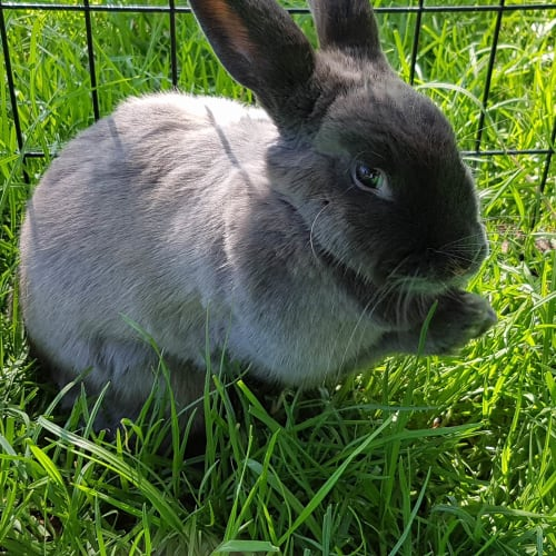 Merle  - Domestic Rabbit