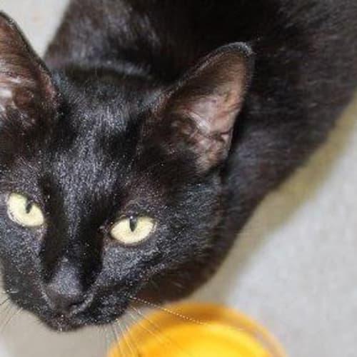 Black Jack - Domestic Short Hair Cat