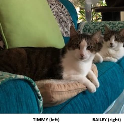 Bailey and Timmy - Domestic Short Hair Cat