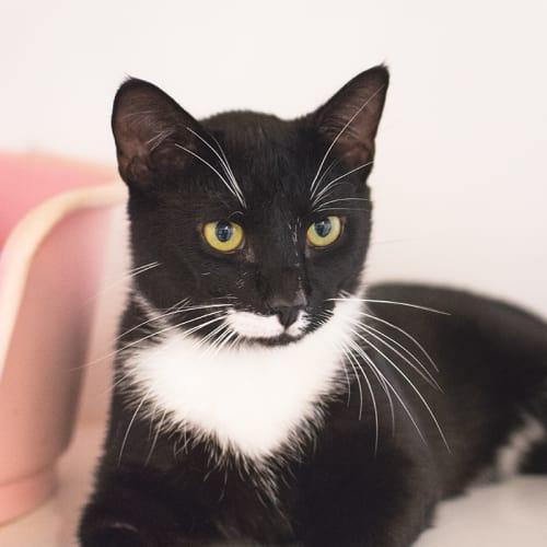 Oswald (91662) - Domestic Short Hair Cat