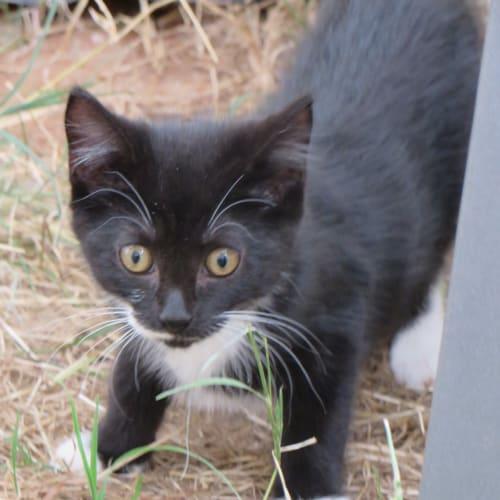 Aggi - Domestic Short Hair Cat