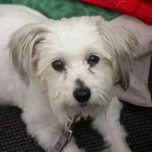 **On Trial** Belle - Maltese Dog