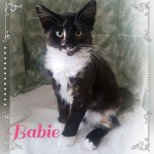 Babie - Domestic Medium Hair Cat