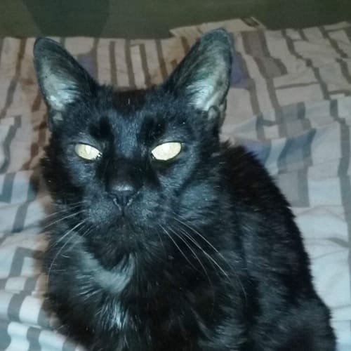 Bradley - Located in Northcote - Domestic Short Hair Cat