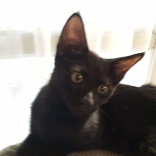 Ebony - Domestic Short Hair Cat