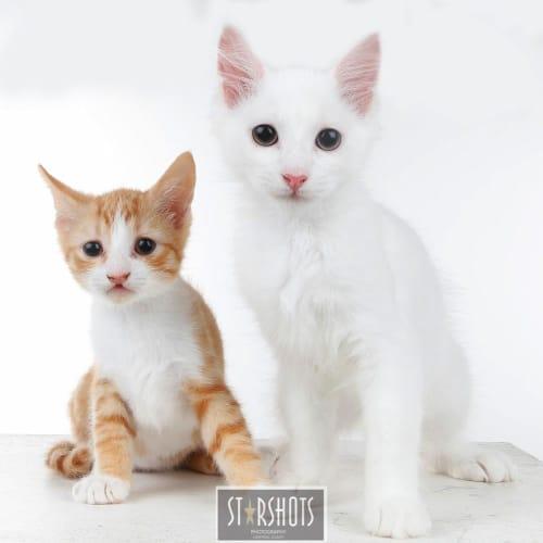 Dipsy - Domestic Medium Hair Cat