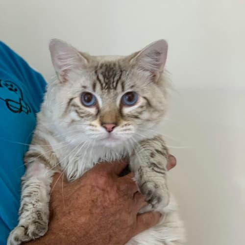 Marshmallow - Ragdoll Cat