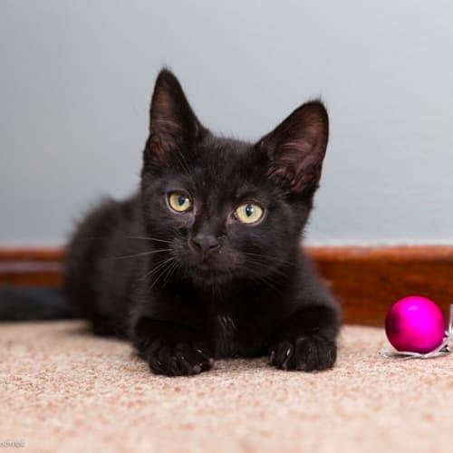 Kev NK2735 - Domestic Short Hair Cat
