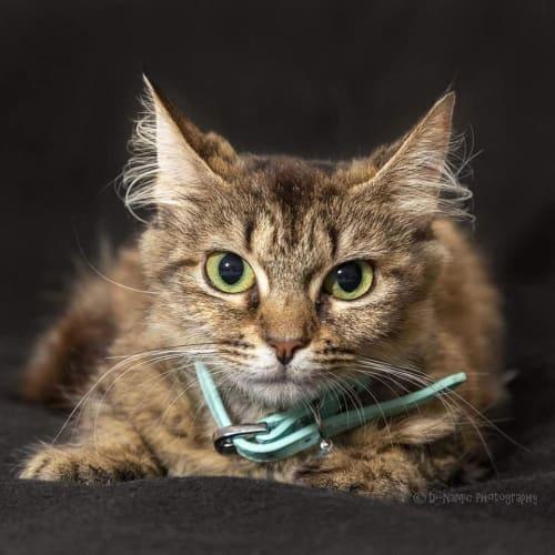 AC1021 - Holly - Domestic Medium Hair Cat