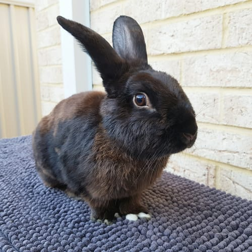 Byron - Dwarf lop x Rex Rabbit