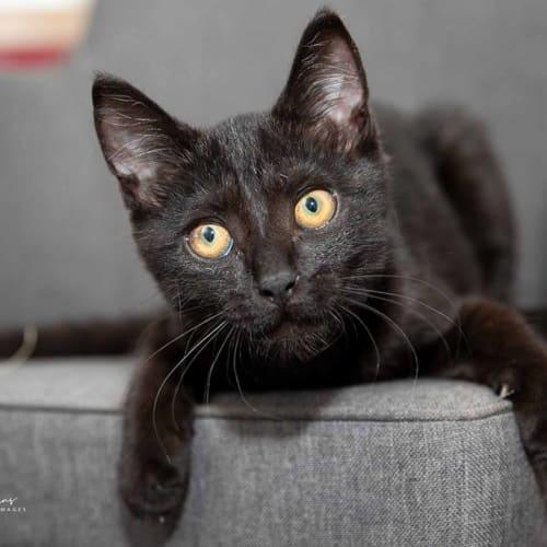 AK2922 - Blake - Domestic Short Hair Cat