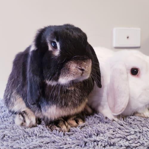 Titan + Phoenix - Dwarf lop Rabbit
