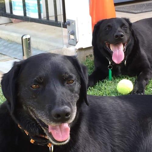 Huckleberry - Border Collie x Labrador Dog