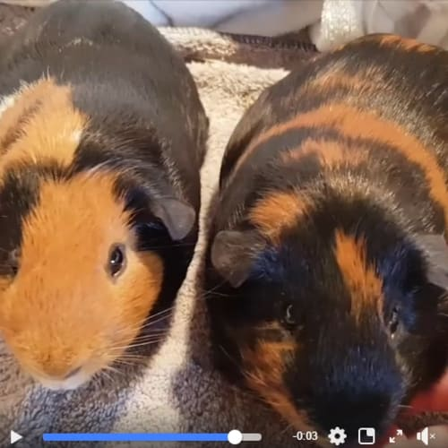 Toby -  Guinea Pig
