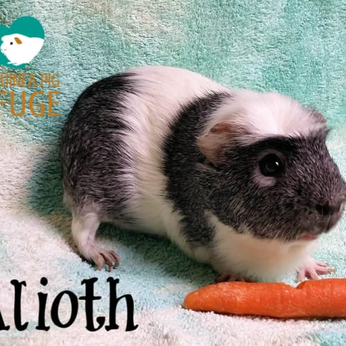 Alioth (looking for a friend) - Crested Guinea Pig