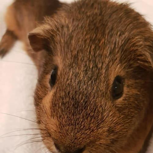 Jatz (desexed male) - Smooth Hair Guinea Pig