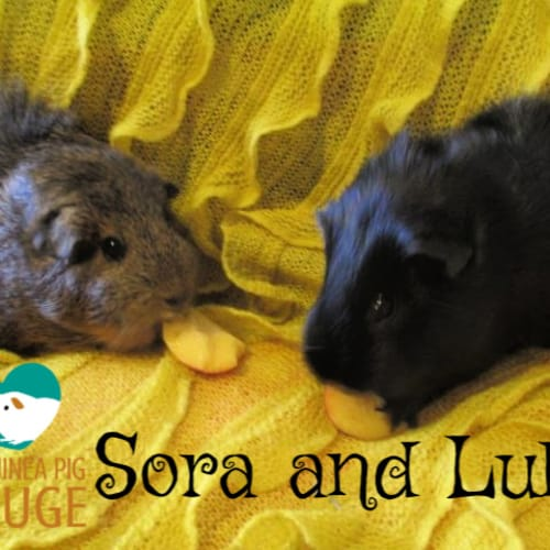 Sora and Lulu - Smooth Hair Guinea Pig