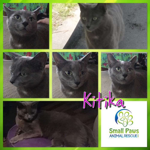Kitika - Russian Blue Cat