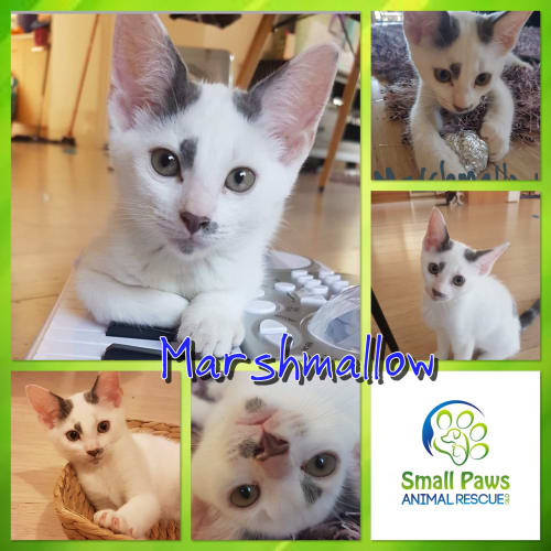 Marshmallow - Domestic Medium Hair Cat