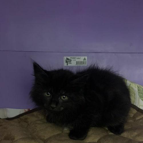 Morty - Domestic Medium Hair Cat