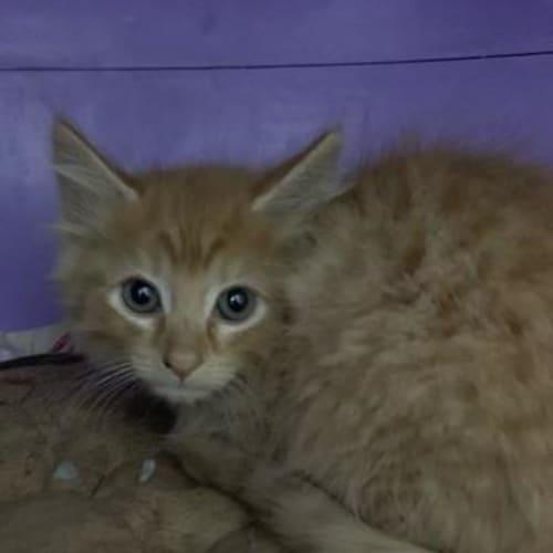 Otto - Domestic Short Hair Cat