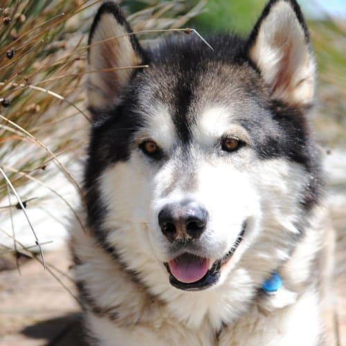 Hunter - Alaskan Malamute Dog