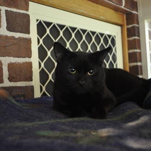 Nero - Domestic Short Hair Cat