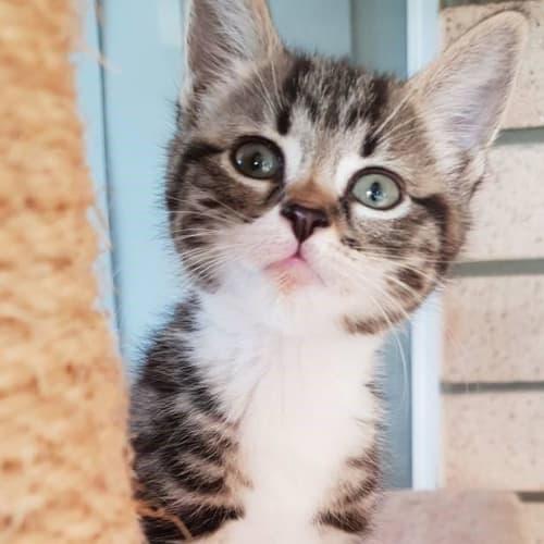 Larry - Domestic Short Hair Cat