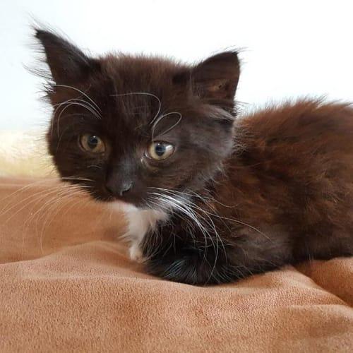 Rex - Domestic Medium Hair Cat