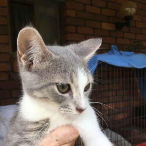 Squishy - Domestic Short Hair Cat