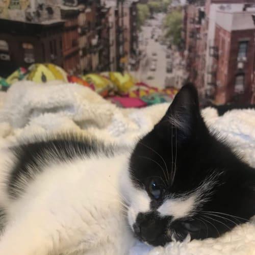 Toby  - Domestic Short Hair Cat