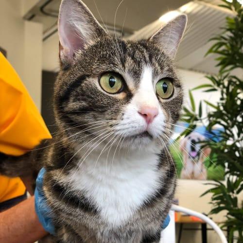 Lena - British Shorthair Cat