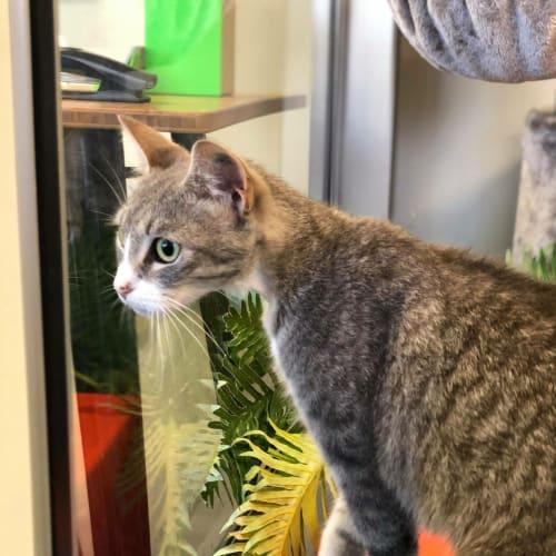 Miku - Domestic Short Hair Cat