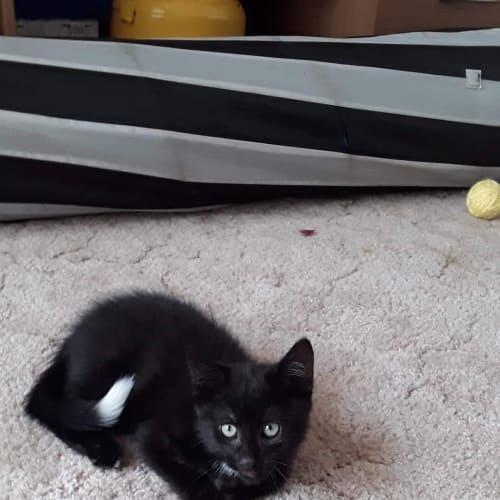 Loki- playful little kitten  - Domestic Medium Hair Cat