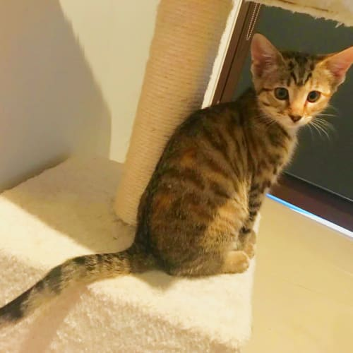Piglet - Domestic Short Hair Cat