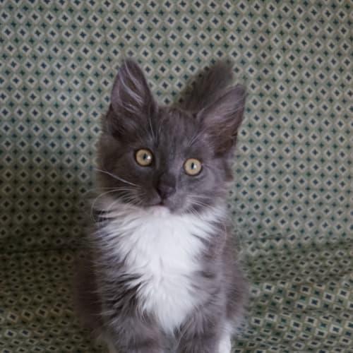 Itty - Domestic Medium Hair Cat