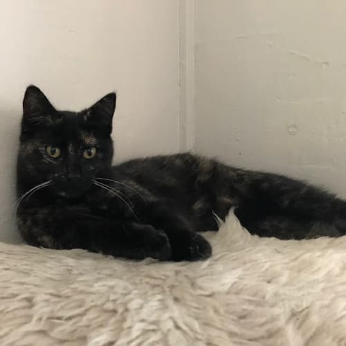 Cali - Domestic Short Hair Cat