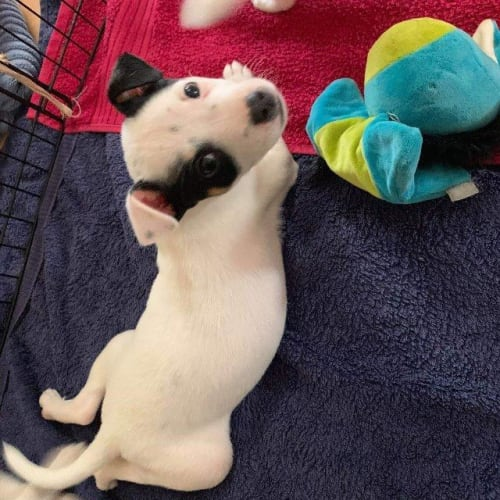 Laddy - Jack Russell Terrier x Mixed Breed Dog