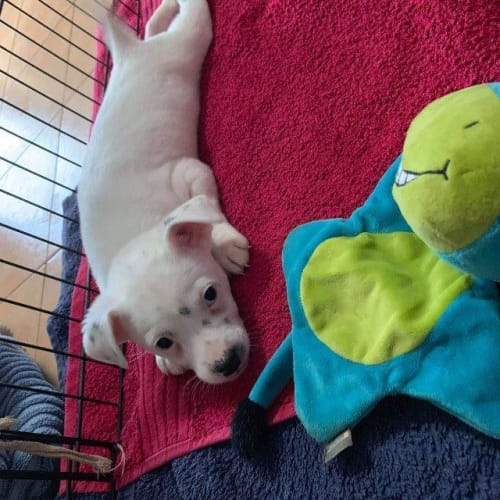 Lilly - Jack Russell Terrier x Mixed Breed Dog