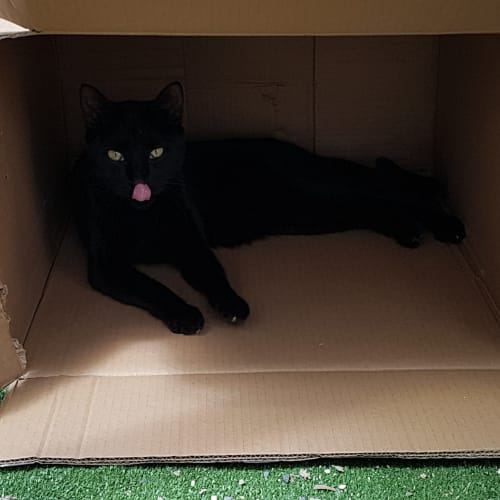 Claws - Domestic Short Hair Cat