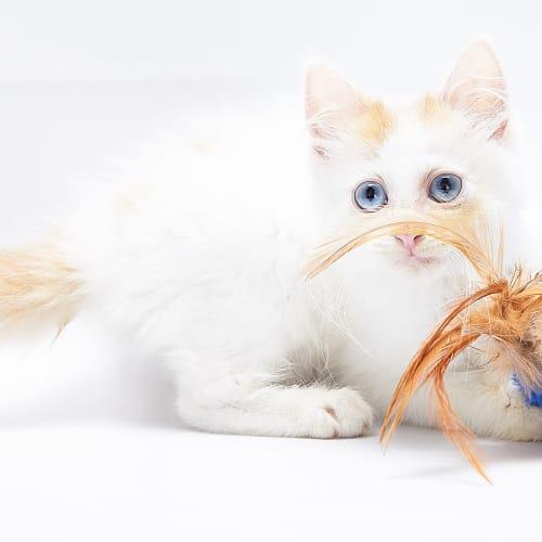 the I-Sicle - Domestic Medium Hair Cat