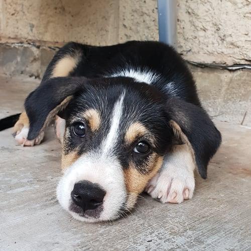 Ravi - Border Collie x Border Terrier Dog
