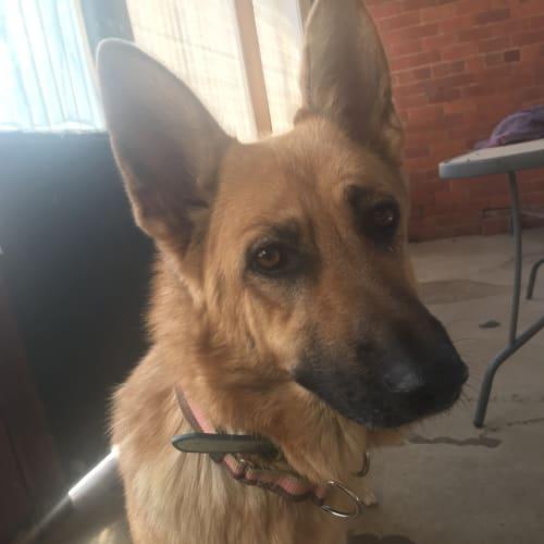Anya - German Shepherd Dog