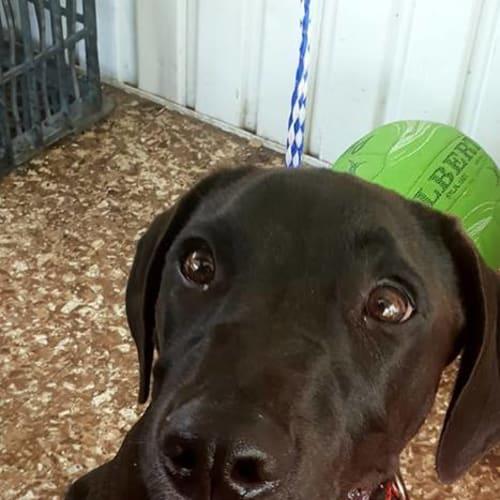 Haylie - Labrador Dog