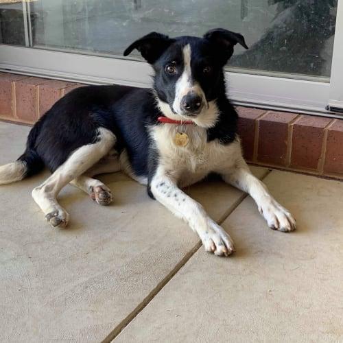 Ollie  - Border Collie Dog