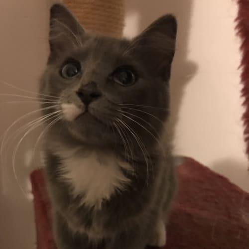Reggie - Domestic Long Hair Cat